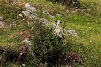 Always, hidden in some bush we will find a tireless goat ... (Siempre, escondida en algún arbusto encontraremos a una incansable cabra).