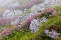 A small sample of Asturian flora in the area of Picos de Europa, Erica vagans, a type of heather that was the most abundant in the area, small and spectacular inflorescence, we can see it in bloom at the end of summer and is The few heather that grows in limestones.