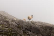 In summer the shepherds take their flocks to the highlands to graze ... you can find them everywhere ... (En verano los pastores llevan sus rebaños a las tierras altas para pastar... te las puedes encontrar por todos lados...).