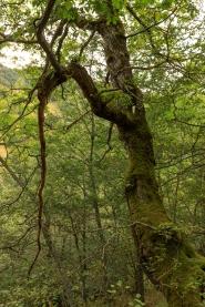 Esta es una muestra del bosque mixto, en su mayoría de hoja caduca, que podemos apreciar en las áreas bajas de los Picos de Europa.